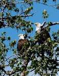 Bald eagle pair - the female tends to be larger