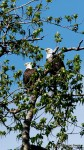 Pair of bald eagles, Cooper Landing