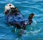 Cutest sea otter ever!  Seward Harbor