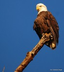 Bald eagle - Fountainhead Regional Park, Va