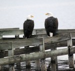 Pair of bald eagles - Blackwater Wildlife Refuge, Md.