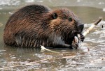 Beaver with ice pops