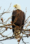 Bald eagle - Mason Neck Park, Va.