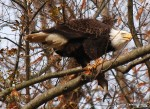 Not sharing!  Bald eagle at Conowingo Dam, Md.