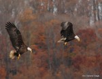 Bald eagles zeroing in on fish