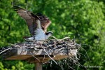 Osprey on nest