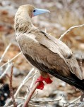 Red-footed booby -