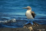 Bluest of Blue-footed boobies