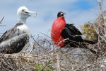 Young  frigate bird with dad