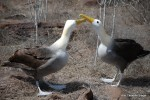 Beak tapping in courtship