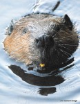 Beaver eating corn kernel