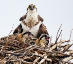 Osprey adult and two chicks