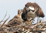 Osprey adult and chicks