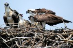 Osprey family - two adults and chicks