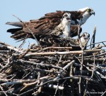 Osprey adult with two chicks