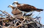 Adult osprey pair