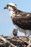 Osprey adult and chick.
