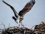Juvenile osprey testing wings for first time