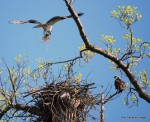 Osprey preparing nest